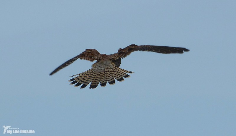 P1090956 - Kestrel, Worm's Head