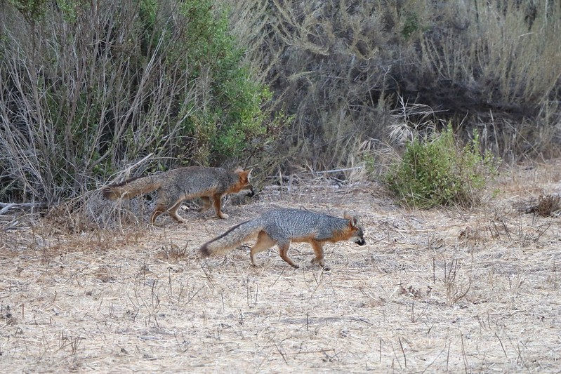 Two California Channel Island Foxes (Urocyon littoralis santacruzae)