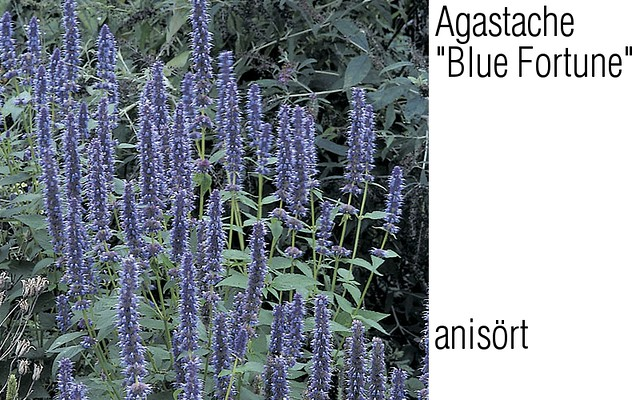 Header of Agastache