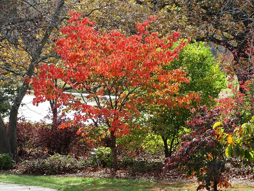 Hereu0027s A Picture Of A Flowering Dogwood (Cornus Florida) In Full Fall Color  On The Dogwood Walk Today (October 27, 2014). Flowering Dogwoods Have Put  On A ...
