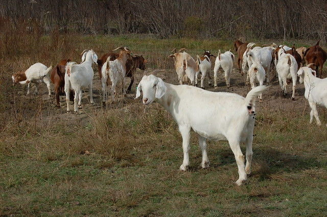 Boer and Kiko goats browsing at Karl Family Farms in Modena, NY by Eve Fox, The Garden of Eating, copyright 2014