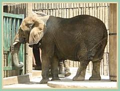 Six Legged Elephant?