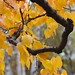 Crook Arm Golden Leaves