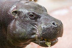 Portrait of the male pigmy hippo