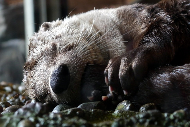closeup of the face of a sea otter, lying on its side sleeping. Its little paws are clasped under its chin.