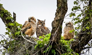 Hon Mention 6 - Our Great Horned Owls - Duane Van Horn