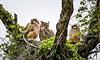 Hon Mention 6 - Our Great Horned Owls - Duane Van Horn