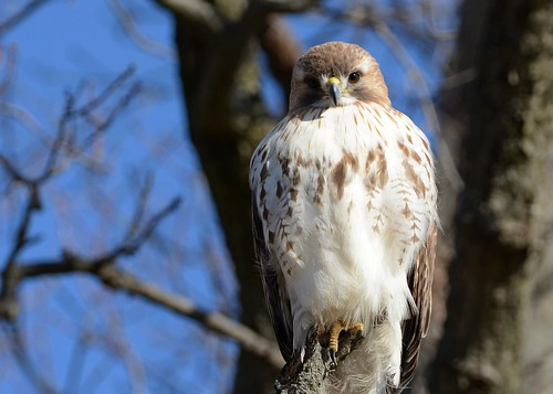 gorgeous birds birdsofprey raptors hawks hawkredtailed redtailedhawk nikon nikond7100 tamronsp150600mmf563divc jdawildlife johnny portrait eyecontact closeup