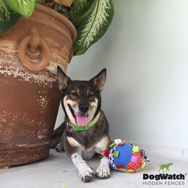 Soxi, Shiba Inu, DogWatch Thailand