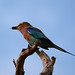 Lilac-breasted Roller (Eric Browett)