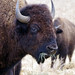 Small photo of American Bison
