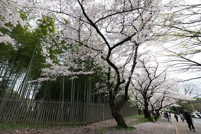 Cherry blossoms, Panasonic DMC-GX7MK2, Lumix G Vario 7-14mm F4.0 Asph.