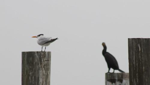 bird tern cormorant royaltern doublecrestedcormorant thalasseusmaximus phalacrocoraxauritus
