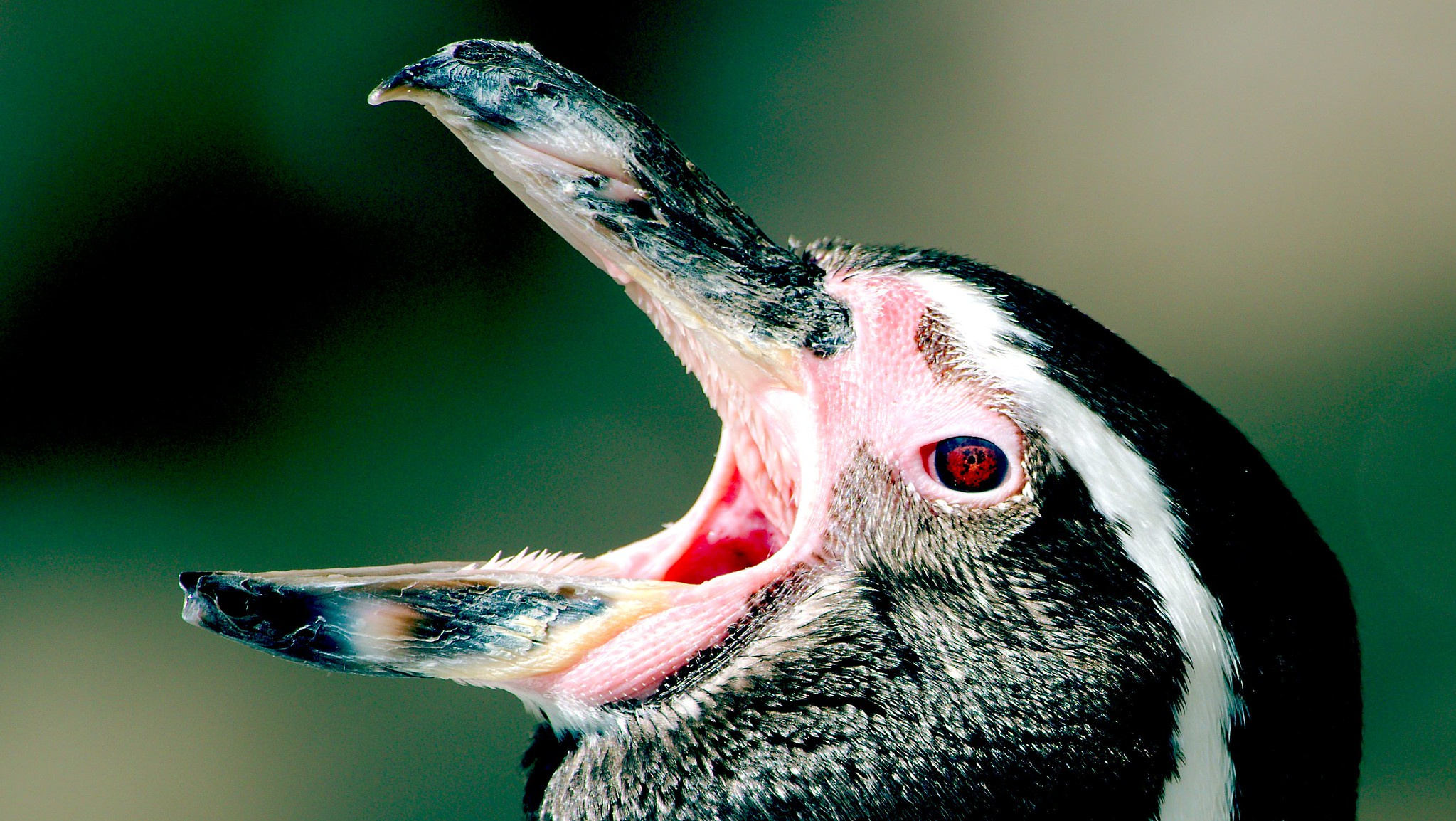 Humbolt Penguin_6