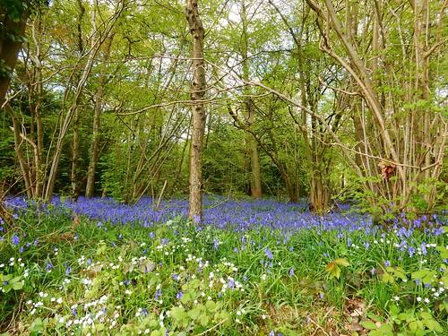 Bluebells, Kings Wood