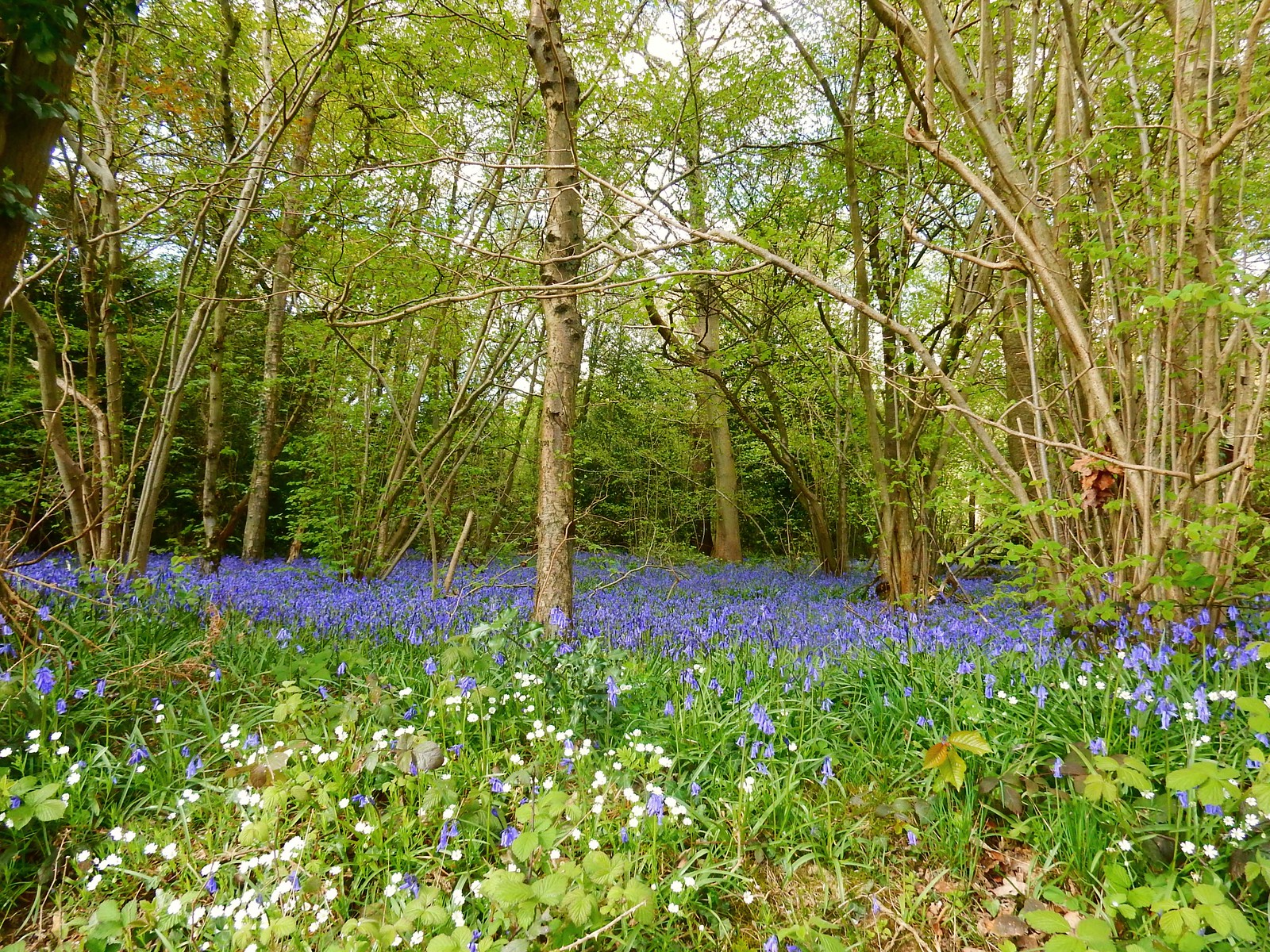 Bluebells, Kings Wood Whyteleafe to Woldingham