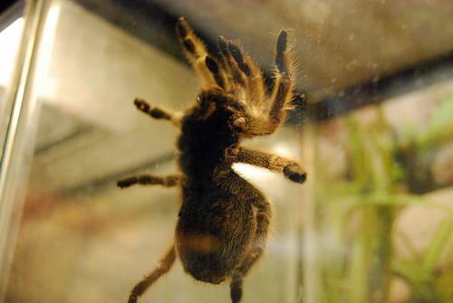Insectropolis - tarantula-001