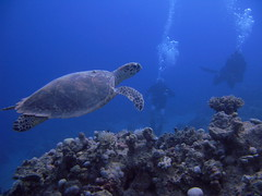 Hawksbill sea turtle #1