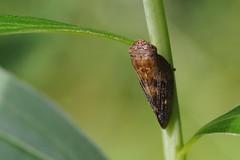 Yezophora flavomaculata
