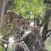 Baby cheetah peekaboo