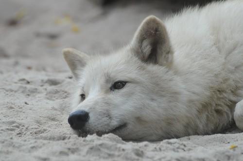 Polarwolf im Zoo de La Flèche