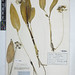 Small photo of BM001161575 Allium ursinum L.