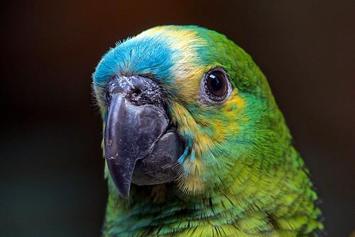 Blue Crown Amazon