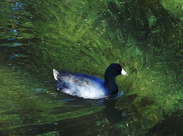 ducks at South Lake; Golden Gate Park, San Francisco (2014)