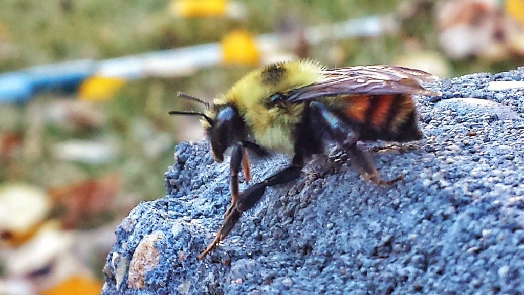 A bee we found in our yard while we were doing some yard work. Sure was moving slow.