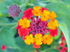 annual plant, flower, yellow, herb, wildflower, flora, lantana camara, petal,