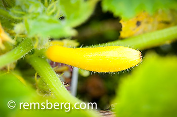 Yellow squash (Cucurbita) growing in Georgeson Botanical Garden.