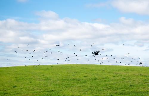 sky green fall field clouds horizon hill flock crows