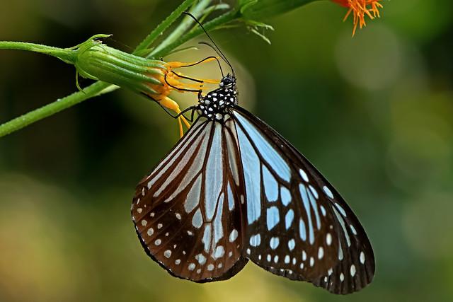 Parantica melaneus - Chocolate Tiger