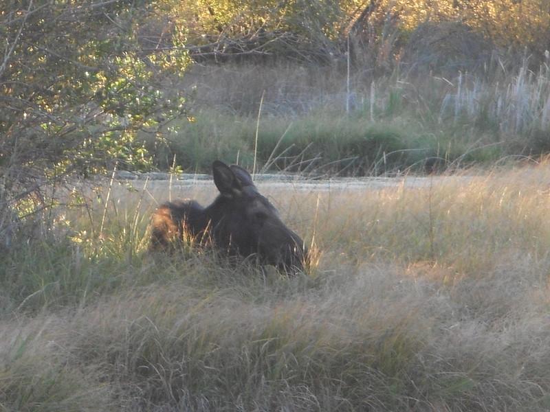 Moose 3 (2)