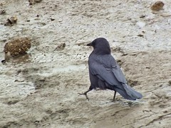 7364-NW Crow in Intertidal Zone Mud