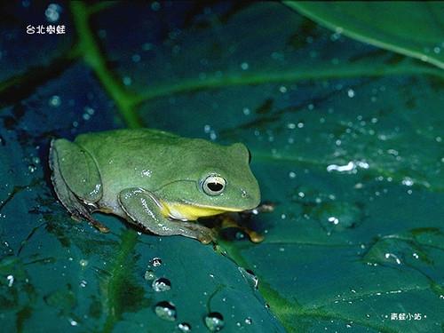 台灣島上的蛙類有33種,楊懿如10餘年學術研究則與特有種的台北樹蛙緊緊相繫。