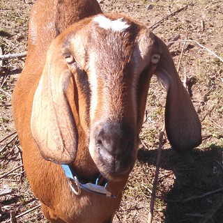 A golden red goat with pale facial stripes, long, dangly ears, and wide attentive eyes stares into the camera. She is shall we say Rubenesque in build.