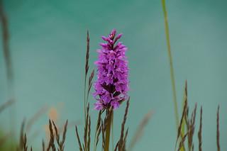 105 Breedbladige orchis