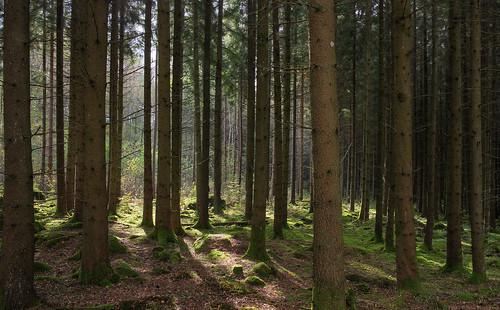 wood autumn forest stem mark 28mm stems spruce hdr verticals västragötaland västergötland piceaabies norwayspruce sjuhärad 5exposurehdr hyssna spruceplantation