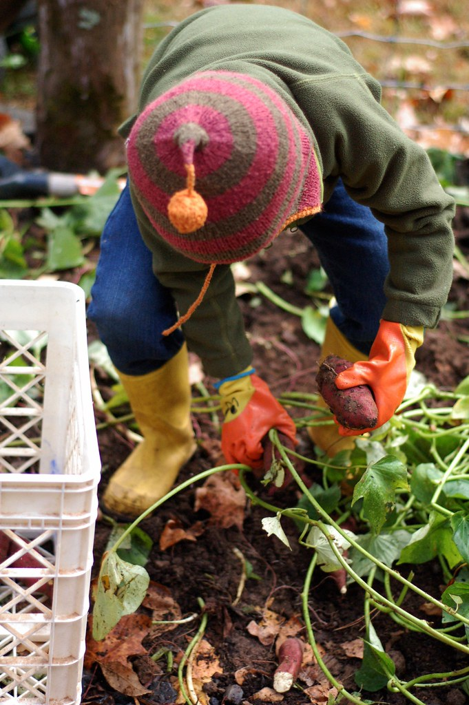 Putting sweet potatoes into the crate by Eve Fox, The Garden of Eating, copyright 2014