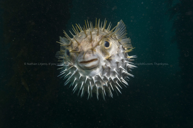 Porcupinefish (Diodon nicthemerus) inflated