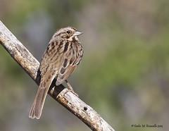 Song Sparrow IMG_3739edtsg