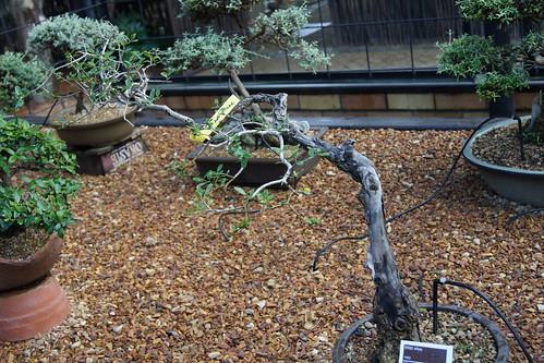 Olea europaea subsp. africana bonsai