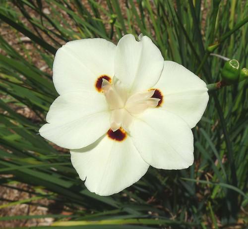 Dietes bicolor. Iridaceae