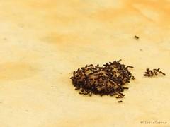 Ants Heart