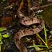 Formosan Slug Snake's Back