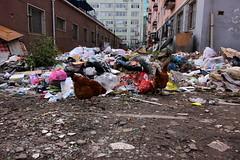 gallinas-barrio-2