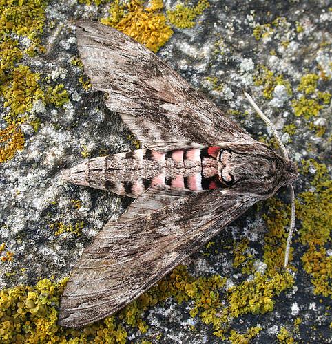 Convolvulus Hawk-moth, Agrius convolvuli Lagos, Portugal October 2014
