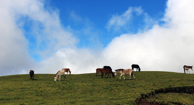 Nepal horses3