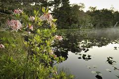 Western Azalea at Muddy Lake, New River ACEC